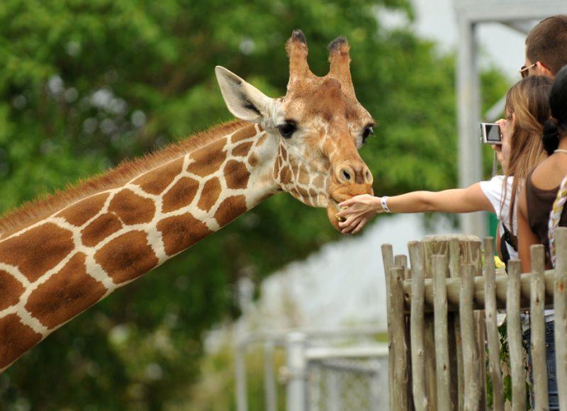 giraffe eet uit hand