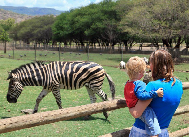 zebra in dierentuin